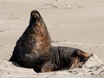 Ein großer Neuseeländischer Seelöwe, der auf einem Strand an Surat-Bucht im Catlins in der Südinsel in Neuseeland gähnt stockbilder