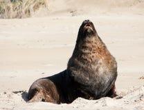 Ein großer Neuseeländischer Seelöwe, der auf einem Strand an Surat-Bucht im Catlins in der Südinsel in Neuseeland ein Sonnenbad n stockfotografie
