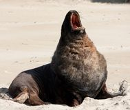 Ein großer Neuseeländischer Seelöwe, der an einem Strand an Surat-Bucht im Catlins in der Südinsel in Neuseeland gähnt und ausdeh stockfotos