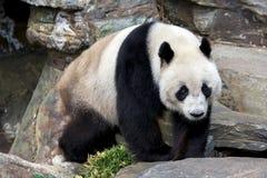 Ein großer Panda nimmt einen Spaziergang in seiner Einschließung bei Adelaide Zoo in Süd-Australien in Australien Lizenzfreie Stockfotografie