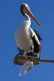 Ein großer Pelikan hockte auf unterbrochenen Straßenlaterne Stockfotografie