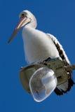Ein großer Pelikan hockte auf unterbrochenen Straßenlaterne Stockbilder