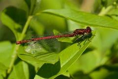 Ein großer roter Damselfly auf einem Blatt Stockfotos