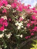 Ein großer schöner üppiger Strauch, eine exotische tropische Anlage mit den weißen und purpurroten, rosa Blumen mit den empfindli Stockfotografie