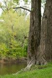 Ein großer schöner Baum auf der Flussbank Stockbilder