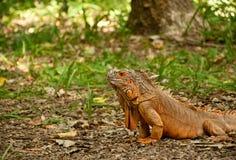 Ein großer schöner Leguan stockfotos