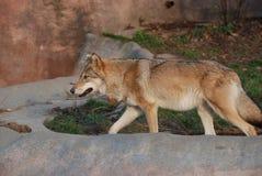 Ein großer schöner Wolf zeigt sein beeindruckendes Grinsen und Stärke lizenzfreie stockbilder