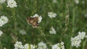 Ein großer Schmetterling fliegt über weiße Blumen, wilde Natur stock video footage