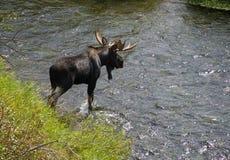 Ein großer Stier-Elch kreuzt einen beweglichen Fluss stockfotografie