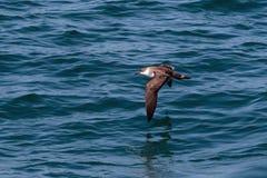 Ein großer Sturmtaucherseevogel im Flug über dem Atlantik Stockbilder