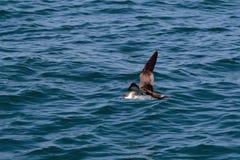 Ein großer Sturmtaucherseevogel im Flug über dem Atlantik Stockfoto