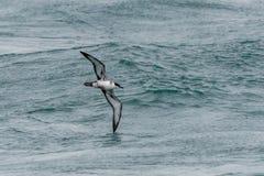 Ein großer Sturmtaucherseevogel im Flug über dem Ozean Stockbild