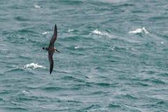 Ein großer Sturmtaucherseevogel im Flug über dem Ozean Stockfotografie