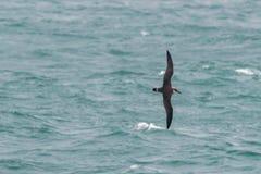Ein großer Sturmtaucherseevogel im Flug über dem Ozean Lizenzfreies Stockfoto