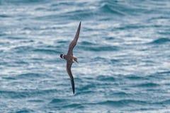 Ein großer Sturmtaucherseevogel im Flug über dem Ozean Lizenzfreie Stockfotografie