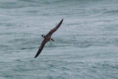 Ein großer Sturmtaucherseevogel im Flug niedrig über dem Ozean Lizenzfreie Stockfotografie