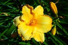 Ein großer und gelber Daylily Stockbilder