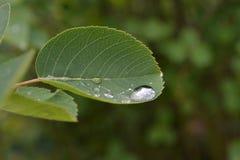 Ein großer Wassertropfen auf einem geschnitzten Blatt eines Busches Stockfotografie