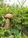 Ein großer weißer Pilz auf einem starken Stiel zwischen Walderdbeerebeeren stockbild