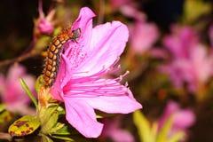 Ein großer Wurm auf der rosa Blume stockfoto