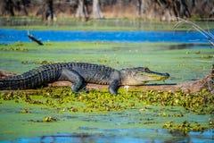 Ein großes amerikanisches Krokodil in Abbeville, Louisiana stockfotos