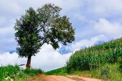 Ein großes Baum- und Maisfeld mit einem bewölkten Himmel Stockfoto