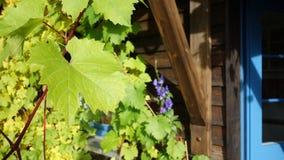 Ein großes Blatt der Weinanlage vor einem Haus Lizenzfreie Stockfotos