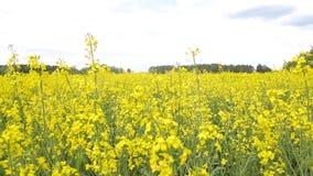 Ein großes Feld der gelben blühenden Vergewaltigung vor dem hintergrund des Waldes, Biodieselproduktion stock video