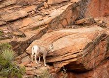 Ein großes gehörntes Schaf der jungen Wüste, das einen Sprung von einer hohen Leiste des roten Sandsteins erwägt lizenzfreie stockbilder