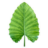 Ein großes grünes tropisches Blatt. Getrennt über Weiß. Stockfotografie