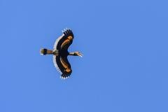 Ein großes Hornbillfliegen im blauen Himmel Lizenzfreie Stockbilder