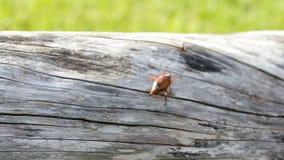 Ein großes kann Käfer kriecht entlang den Stamm eines alten Baums stock video