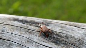 Ein großes kann Käfer kriecht entlang den Stamm eines alten Baums stock video footage