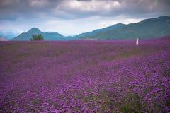 Ein großes Lavendelfeld mit allein stehender Frau Lizenzfreie Stockbilder