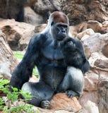Ein großes männliches Silber des rückseitigen Gorillasitzens Stockfoto