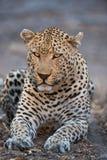 Ein großes, mürrisch-aussehendes Leopardstillstehen lizenzfreies stockbild