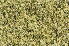 Ein großes Maisfeld Stockbilder