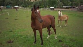 Ein großes Pferd steht und untersucht den Rahmen stock video