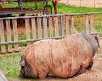 Ein großes Schwein, das durch Wasser an einem Bauernhof in Thailand kühl ist stockfotos