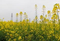 Ein großes Stück der Blume des goldenen Öls stockfotos