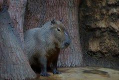 Ein großes graues wildes Wombat sitzt aus den Grund unter Bäumen stockbild