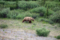 Ein großer Graubär, der nach Lebensmittel im Frühjahr sucht Stockbild