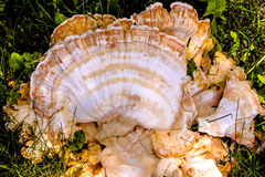 Ein großer schöner Pilz Lizenzfreies Stockbild