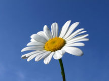 Ein großes Sommergänseblümchen. Lizenzfreies Stockfoto
