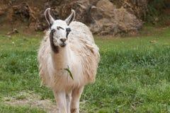 Ein Guanako-Lama (Lama guanicoe) lizenzfreie stockbilder