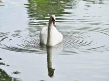 Ein Höckerschwan Stockfoto