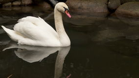 Ein Höckerschwan, der in einen kleinen Teich schwimmt Der Schwan wird im Wasser reflektiert stock video