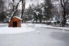 Ein Höckerschwan steht im Schnee am Kugulu-Park-Schwan-Park, wie schwer stockbilder