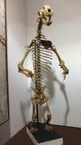 Ein Höhlen-Bärn-Skelett an Fossilien u. an Mineralien GeoDecor stockbilder