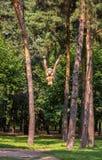 Ein hölzerner Affe, der in den Ketten in einem grünen Stadtpark hängt Stockfotos